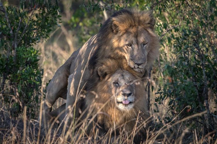 lionn gay animal sex: Homosexualité parmi les animaux_ 2 mâles Lions photographiés entrain de faire du sexe ensemble.